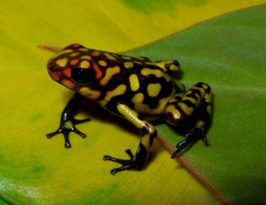 Picture of a harlequin poison frog (Oophaga histrionica)