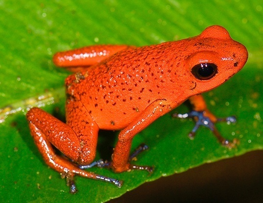 Picture of a strawberry poison frog (Oophaga pumilio)