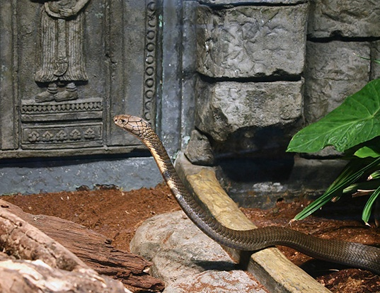 Picture of a king cobra (Ophiophagus hannah)