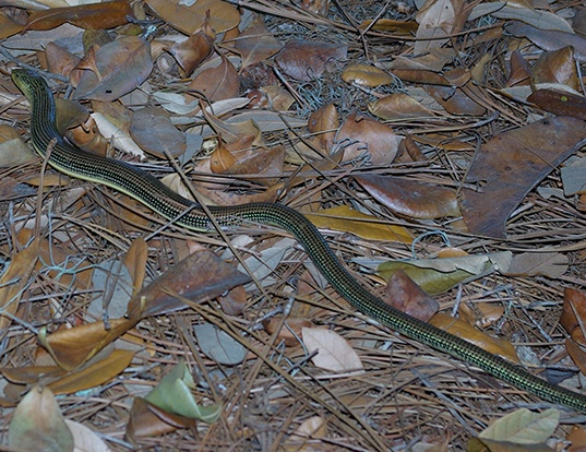 Picture of a eastern glass lizard (Ophisaurus ventralis)