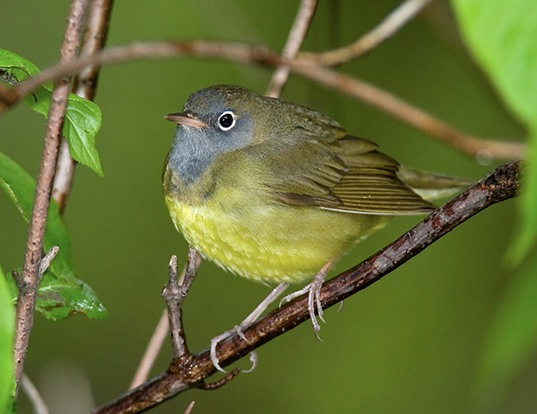 Picture of a connecticut warbler (Oporornis agilis)