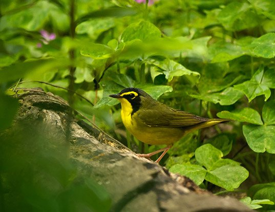 Picture of a kentucky warbler (Oporornis formosus)
