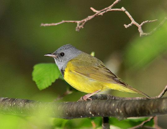Picture of a mourning warbler (Oporornis philadelphia)