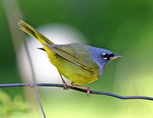 Picture of a macgillivray's warbler (Oporornis tolmiei)