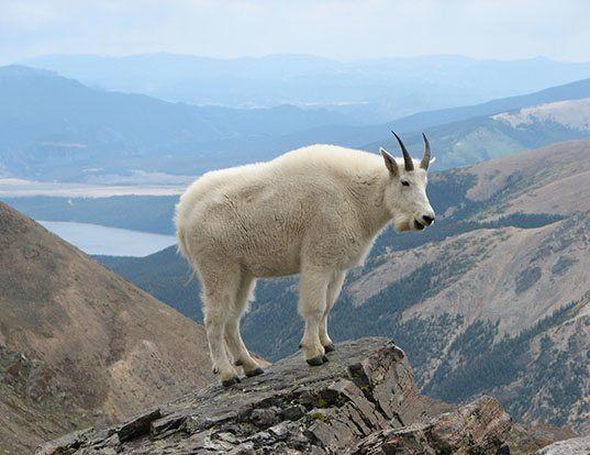 Picture of a mountain goat (Oreamnos americanus)