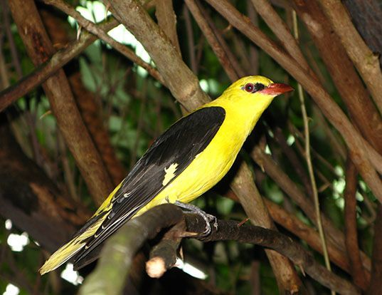 Picture of a eurasian golden-oriole (Oriolus oriolus)