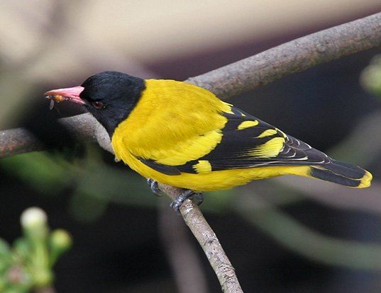 Picture of a black-hooded oriole (hang-nest) (Oriolus xanthornus)