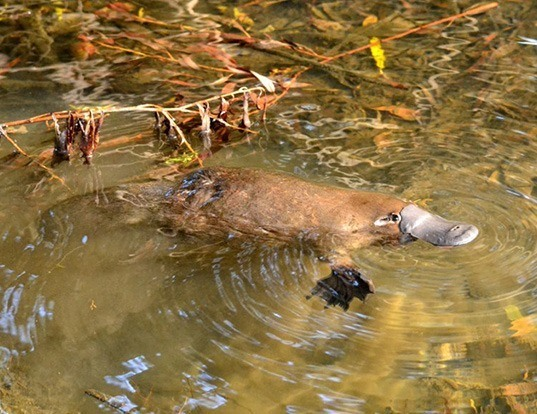 Picture of a platypus (Ornithorhynchus anatinus)