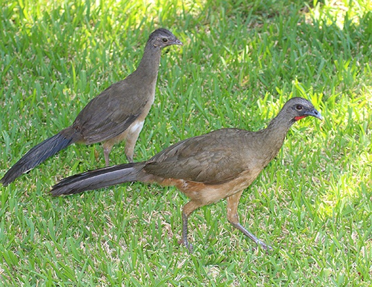 Picture of a plain chachalaca (Ortalis vetula)