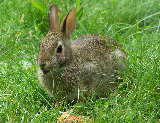 Picture of a european rabbit (Oryctolagus cuniculus)