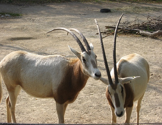 Picture of a scimitar-horned oryx (Oryx dammah)