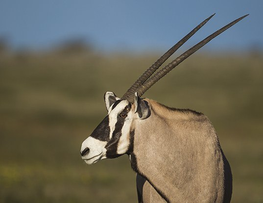 Picture of a gemsbok (Oryx gazella)