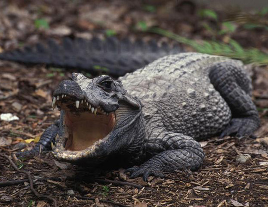 Picture of a african dwarf crocodile (Osteolaemus tetraspis)