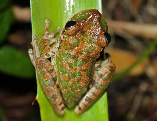 Picture of a cuban treefrog (Osteopilus septentrionalis)