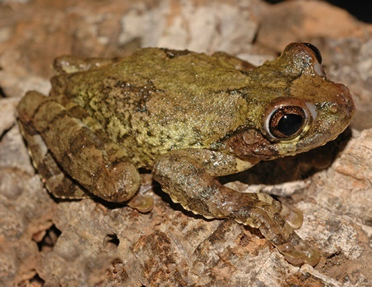 Picture of a hispaniola giant treefrog (Osteopilus vastus)
