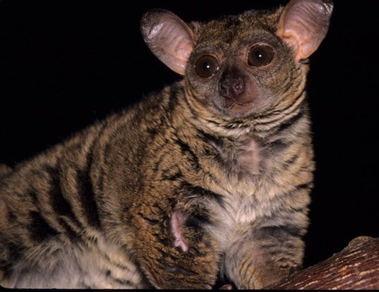 Picture of a small-eared greater galago (Otolemur garnettii)