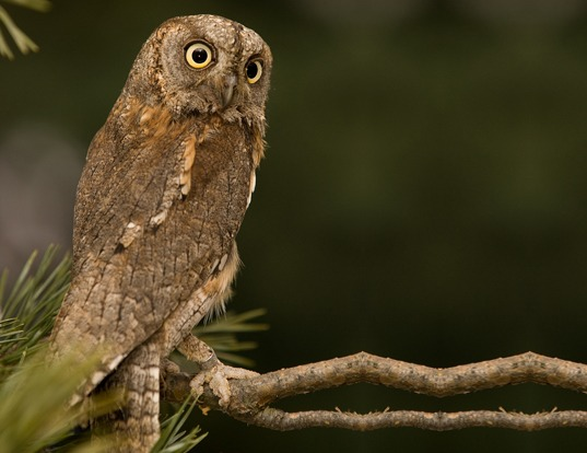 Picture of a eurasian scops-owl (Otus scops)