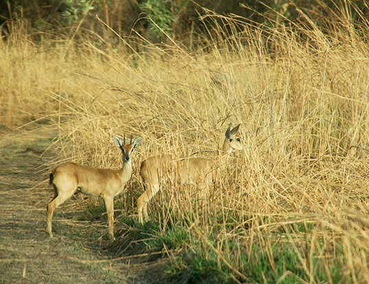 Picture of a oribi (Ourebia ourebi)