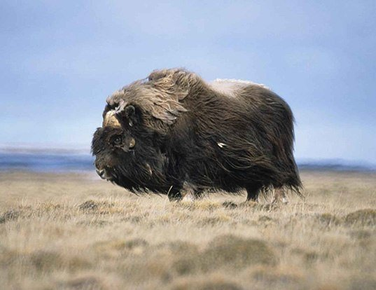 Picture of a muskox (Ovibos moschatus)