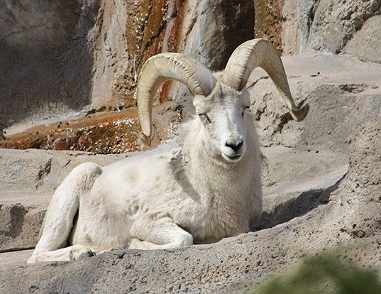 Picture of a thinhorn sheep (Ovis dalli)