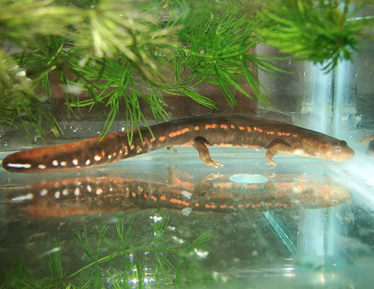 Picture of a black-spotted stout newt (Pachytriton brevipes)