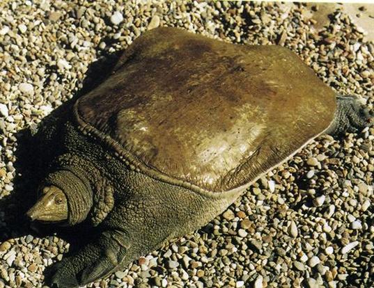 Picture of a wattle-necked softshell turtle (Palea steindachneri)