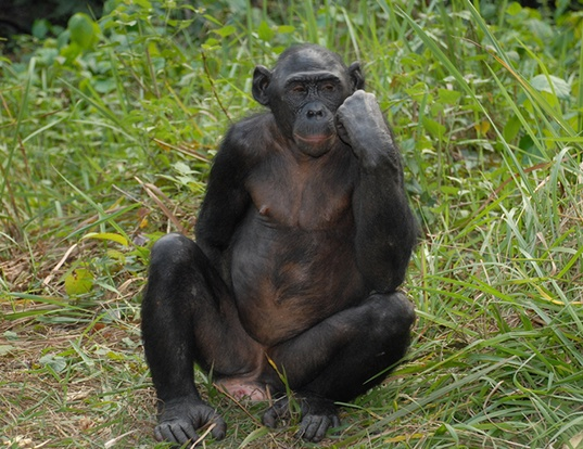 Picture of a bonobo (Pan paniscus)
