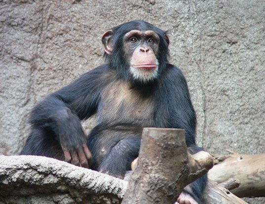 Picture of a chimpanzee (Pan troglodytes)
