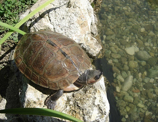 Picture of a brown roofed turtle (Pangshura smithii)