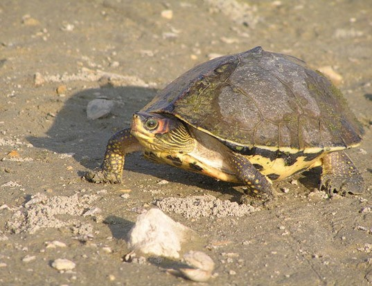 Picture of a indian tent turtle (Pangshura tecta)