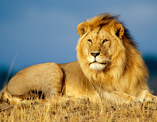Picture of a lion (Panthera leo)