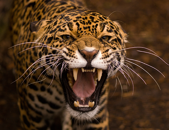 Picture of a jaguar (Panthera onca)