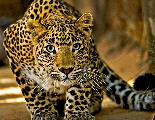 Picture of a leopard (Panthera pardus)