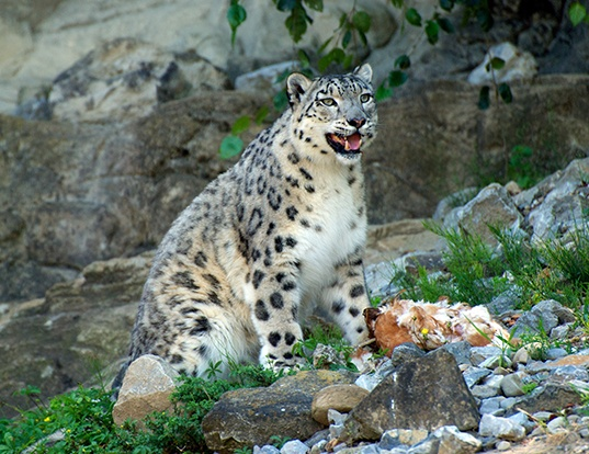Picture of a snow leopard (Panthera uncia)