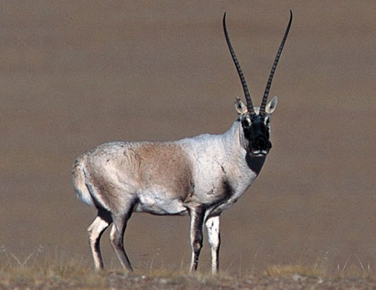 Picture of a tibetan antelope (Pantholops hodgsonii)