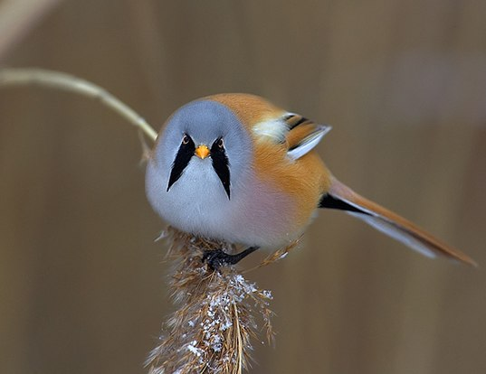 Picture of a bearded parrotbill (Panurus biarmicus)
