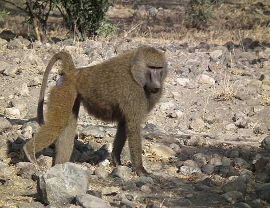 Picture of a olive baboon (Papio anubis)