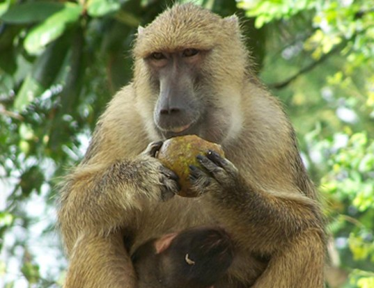 Picture of a yellow baboon (Papio cynocephalus)
