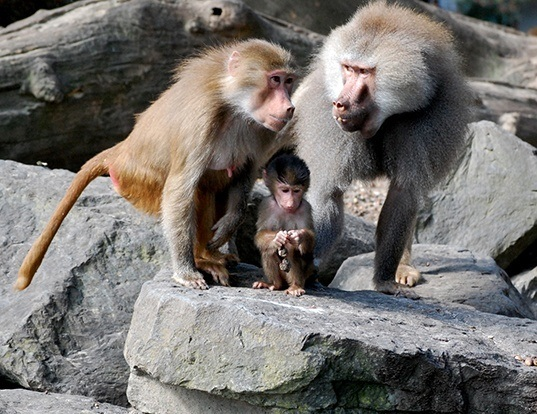 Picture of a hamadryas baboon (Papio hamadryas)