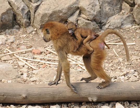 Picture of a guinea baboon (Papio papio)