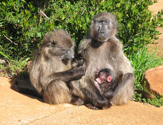 Picture of a chacma baboon (Papio ursinus)