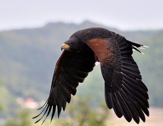 Picture of a harris' hawk (Parabuteo unicinctus)