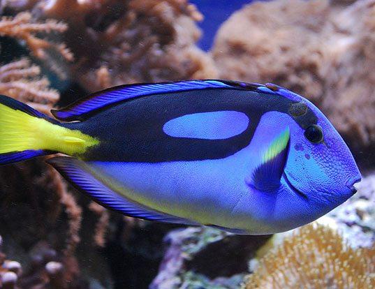 Picture of a palette surgeonfish (Paracanthurus hepatus)