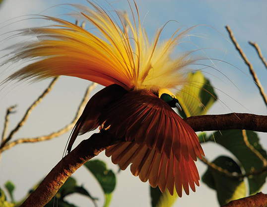 Picture of a greater bird of paradise (Paradisaea apoda)