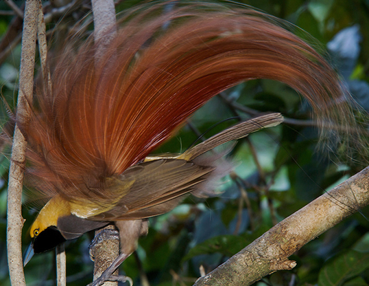 Picture of a goldie's bird of paradise (paradisaea decora)