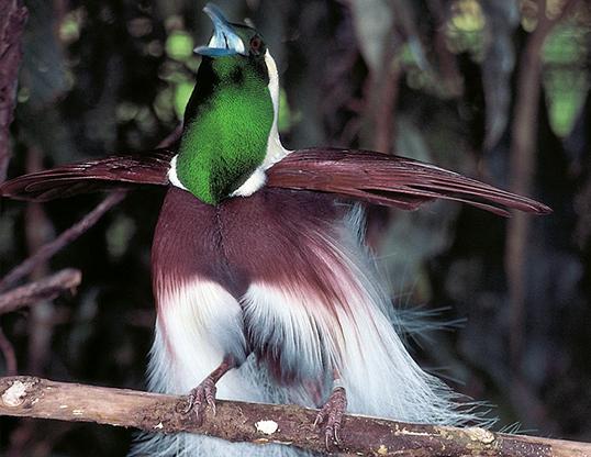 Picture of a emperor bird of paradise (paradisaea guilielmi)