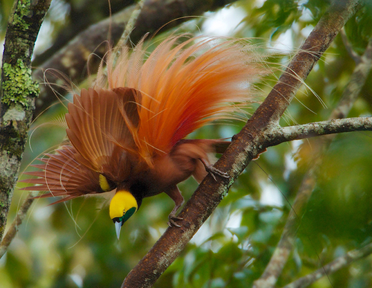 Picture of a raggiana bird of paradise (paradisaea raggiana)