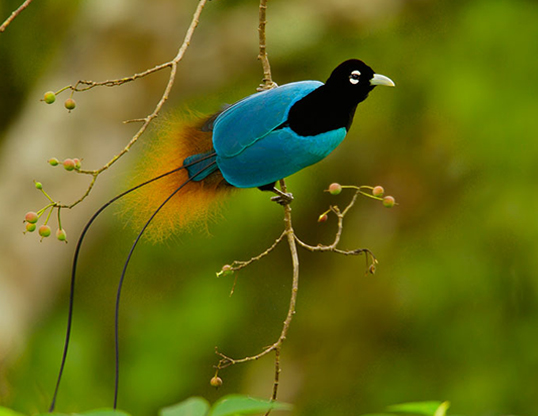 Picture of a blue bird of paradise (paradisaea rudolphi)
