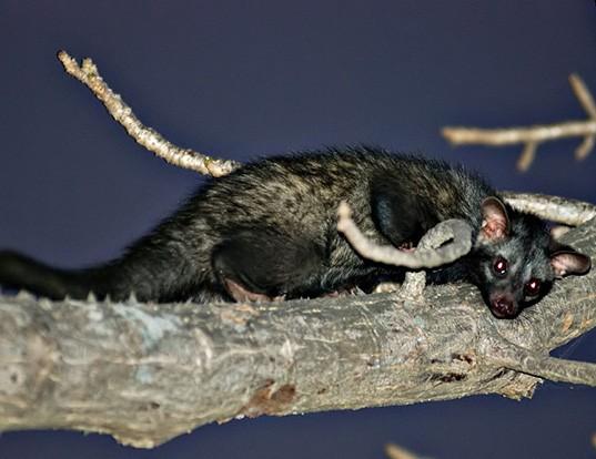 Picture of a palm civet (Paradoxurus hermaphroditus)