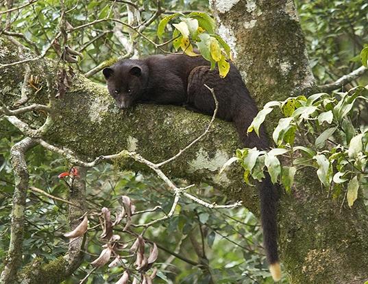 Picture of a brown palm civet (Paradoxurus jerdoni)